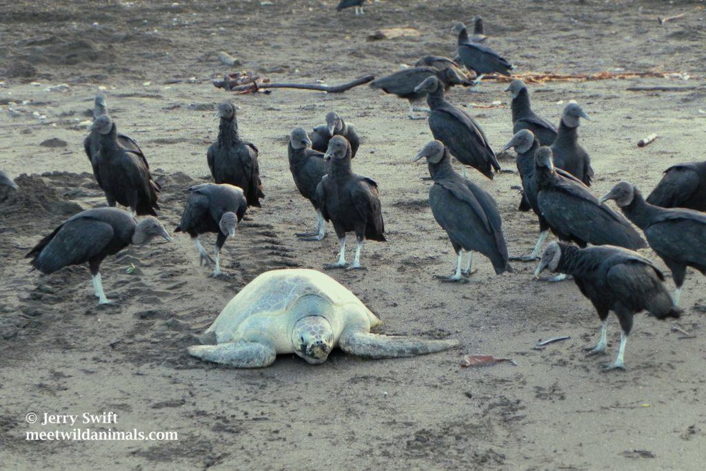 olive sea turtle