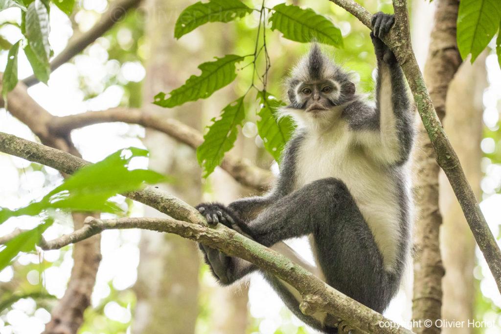 thomas leaf monkey